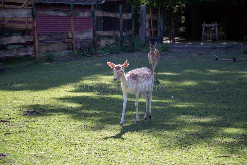 Ένα νέο ελάφι στο ζωολογικό κήπο στοκ εικόνα