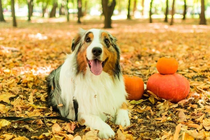 Ένα νέο εύθυμο σκυλί ενός αυστραλιανού ποιμένα σε ένα πάρκο στο δάσος φθινοπώρου εκτελεί τις εντολές κολοκύθες αποκριών στοκ εικόνες με δικαίωμα ελεύθερης χρήσης