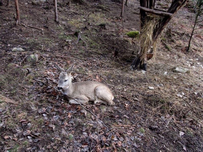 Ένα νέο ελάφι αυγοτάραχων χωρίς κέρατα βρίσκεται στο έδαφος σε ένα φθινόπωρο-χειμερινό δάσος χωρίς το χιόνι και πράσινα στοκ εικόνα με δικαίωμα ελεύθερης χρήσης