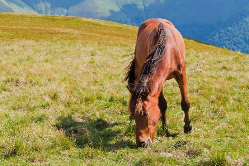 Ένα νέο καφετί άλογο που βόσκει στις κοιλάδες των βουνών car στοκ φωτογραφία