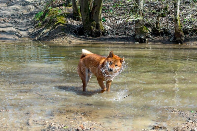 Ένα νέο κόκκινο σκυλί της φυλής Siba Inu που στέκεται σε έναν δασικό ποταμό και ένα αστείο τίναγμα από το νερό, φυσικό υπόβαθρο στοκ εικόνες με δικαίωμα ελεύθερης χρήσης