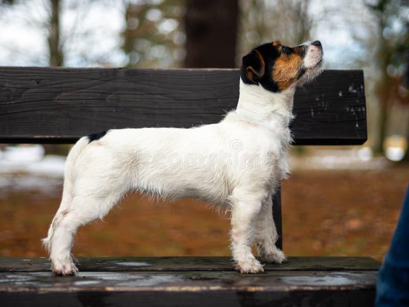 Ένα νέο μικρό λευκό τεριέ του Jack Russell σκυλιών θέτει για μια εικόνα σε έναν πάγκο σε ένα χειμερινό πάρκο στοκ φωτογραφία με δικαίωμα ελεύθερης χρήσης