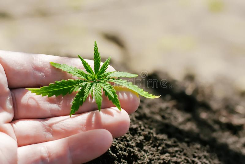 Ένα νέο πράσινο σπορόφυτο καννάβεων υπό εξέταση σε ένα θολωμένο υπόβαθρο με το χώμα που φυτεύεται στο έδαφος Αυξανόμενη κάνναβη στοκ φωτογραφία με δικαίωμα ελεύθερης χρήσης