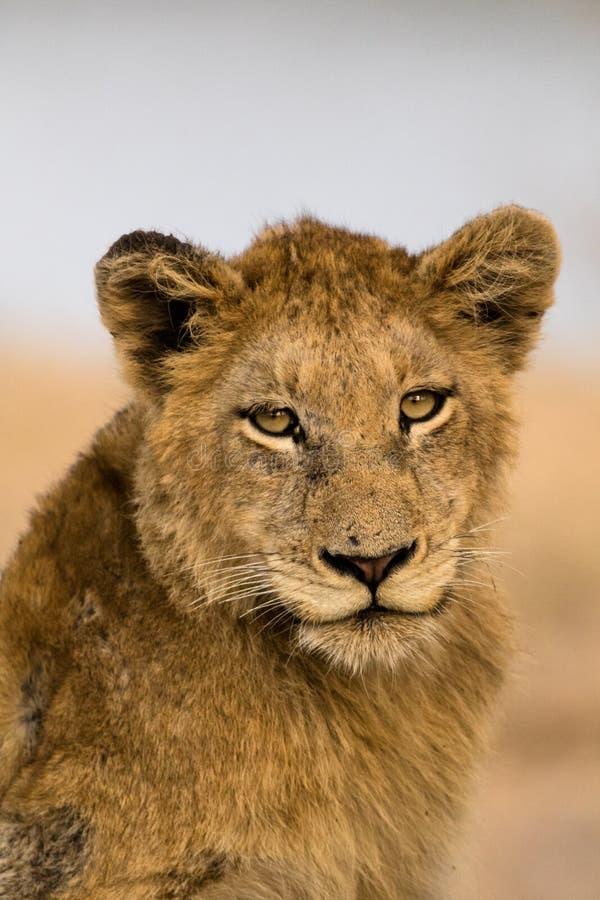 Ένα νέο υπο- ενήλικο λιοντάρι κοιτάζει στο θεατή στοκ εικόνες