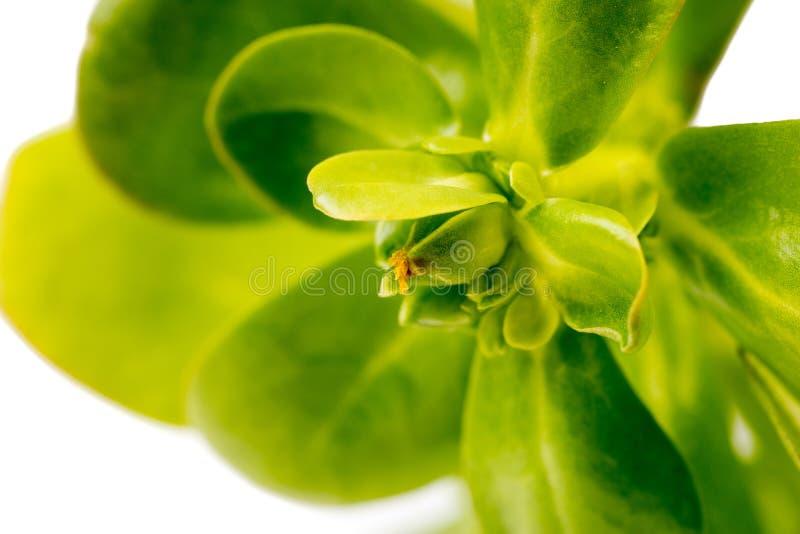 Ένα οργανικό υγιές πράσινο Purslane closse up στοκ εικόνες