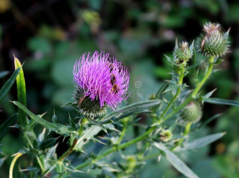 Ένα λουλούδι ενός κάρδου με μια μέλισσα σε το στοκ εικόνα