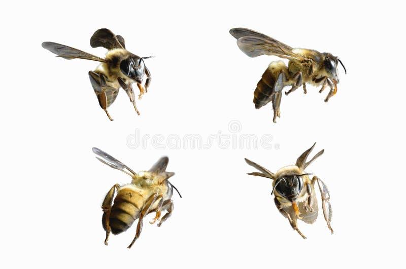 Ένα πέταγμα μελισσών που απομονώνεται στο άσπρο υπόβαθρο στοκ εικόνες
