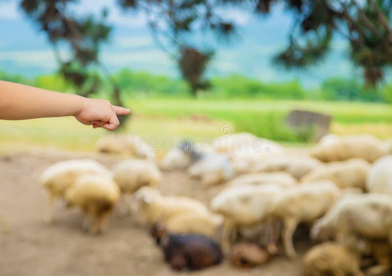 Ένα παιδί εξετάζει ένα κοπάδι των προβάτων Ταξίδι στη Γεωργία r στοκ εικόνες
