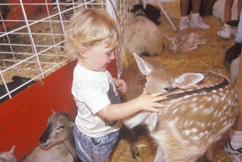 Ένα παιδί στο petting ζωολογικό κήπο στην έκθεση της Κομητείας του Λος Άντζελες, ασβέστιο στοκ φωτογραφία με δικαίωμα ελεύθερης χρήσης