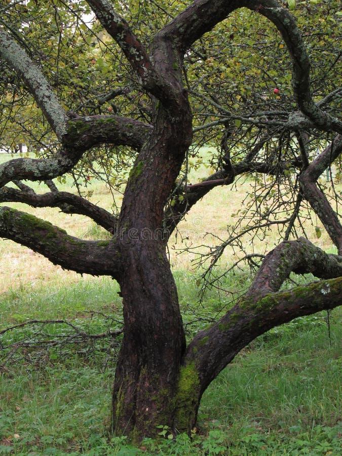 Ένα παλαιό δέντρο της Apple στη βροχή στοκ εικόνες