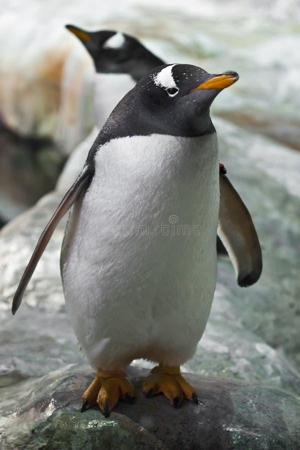 Ένα παχύ χαριτωμένο υπο--ανταρκτικό penguin κακαριστό πηγαίνει προς τα εμπρός με τα φτερά του που διευρύνονται, βατραχοπέδιλα, κι στοκ φωτογραφία με δικαίωμα ελεύθερης χρήσης