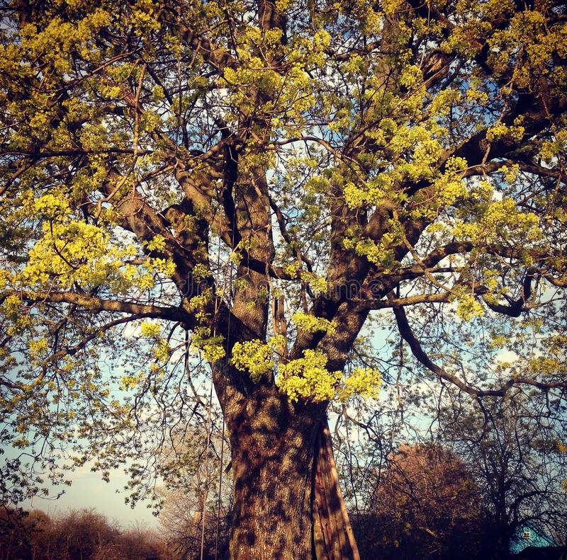 Ένα παλαιό δέντρο όπως έναν ηληκιωμένο, πολύ μεγάλος και έξυπνος στοκ εικόνα με δικαίωμα ελεύθερης χρήσης