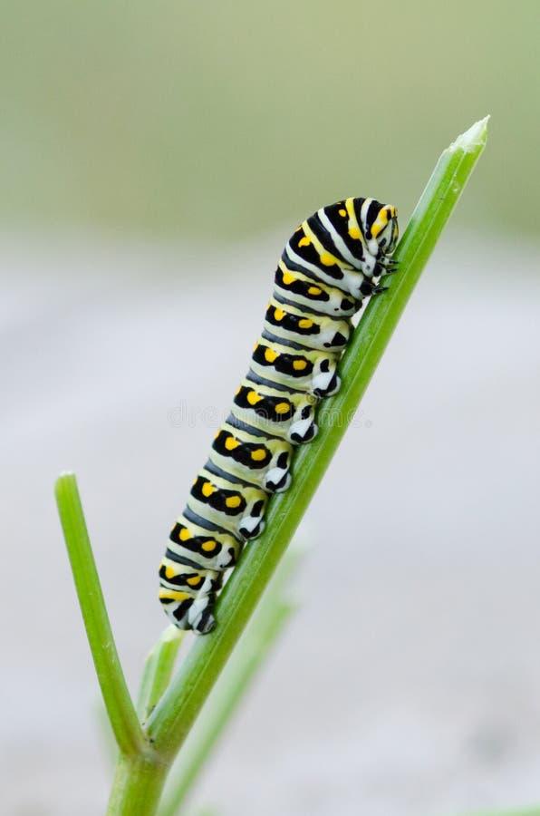 Μαύρο Swallowtail Caterpillar στοκ φωτογραφία με δικαίωμα ελεύθερης χρήσης