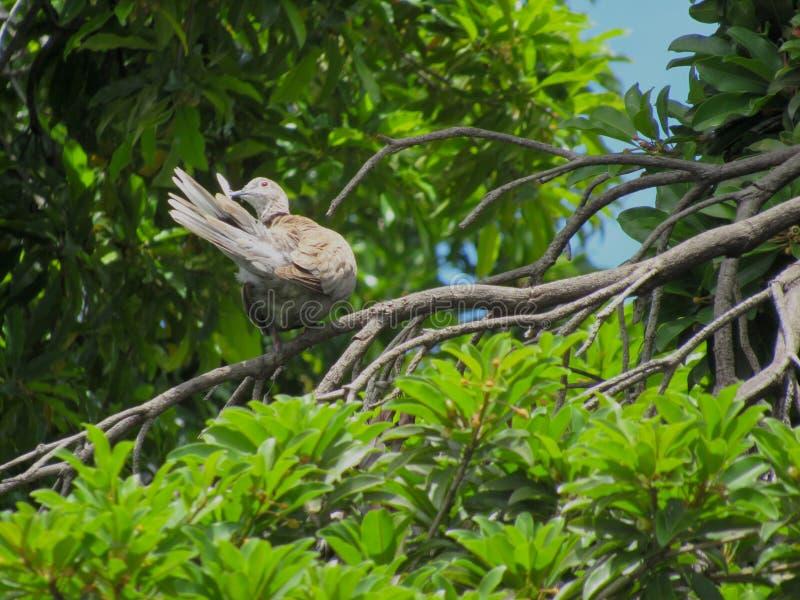 Ένα περιστέρι καπνών σε ένα δέντρο επιλέγει στα tailfeathers του στοκ εικόνα με δικαίωμα ελεύθερης χρήσης