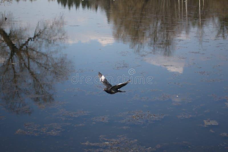 Ένα περιστέρι κατά την πτήση ενάντια πλήρως απεικονισμένη στον ουρανό νερού λιμνών στοκ φωτογραφία με δικαίωμα ελεύθερης χρήσης