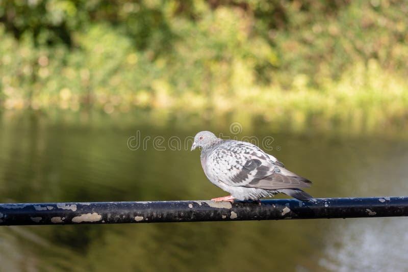 Ένα περιστέρι σε ένα κιγκλίδωμα μπροστά από έναν ποταμό στοκ φωτογραφίες