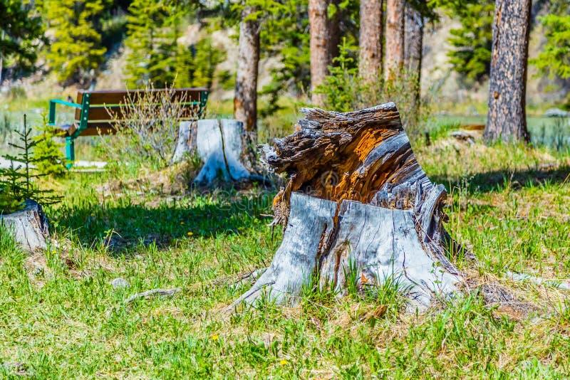 Ένα πετρώνω κολόβωμα δέντρων στο εθνικό πάρκο Banff στοκ εικόνες