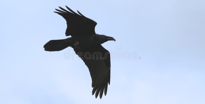 Ένα πετώντας κοράκι, γένος Corvus, Carrion στο Μπιλ του στοκ εικόνα με δικαίωμα ελεύθερης χρήσης