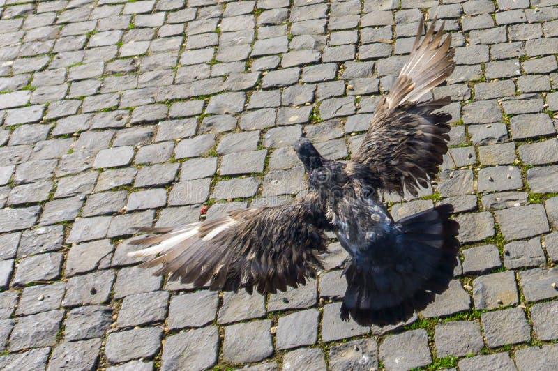 Ένα πετώντας περιστέρι στην πλατεία Unirii, Cluj-Napoca στοκ εικόνες με δικαίωμα ελεύθερης χρήσης