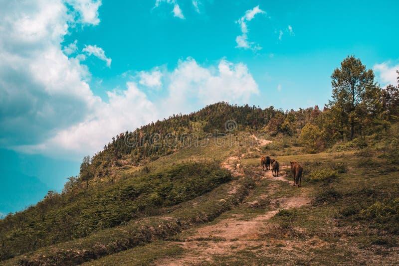 Ένα πλατό καφέ άλογα σε έναν πράσινο λόφο καλυμμένο με δέντρα κάτω από έναν γαλάζιο ουρανό στοκ εικόνες