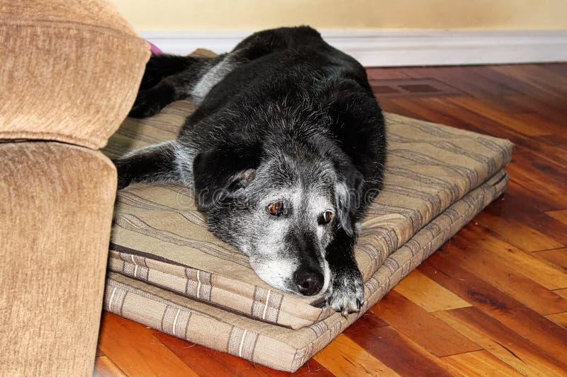 Ένα πολύ λυπημένο παλαιό σκυλί καθορίζει έναν ματ στοκ εικόνα