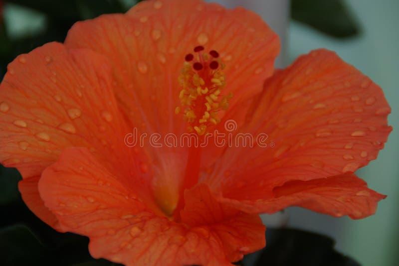 Ένα πορτοκαλιά λουλούδι και ένα νερό πτώσεων στοκ φωτογραφία με δικαίωμα ελεύθερης χρήσης