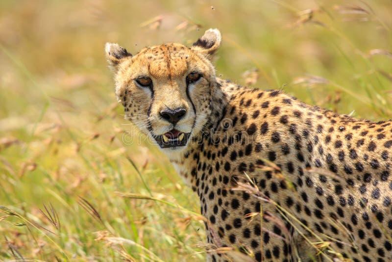 Ένα πορτρέτο ενός άγριου τσιτάχ στο Serengeti, Τανζανία στοκ εικόνα με δικαίωμα ελεύθερης χρήσης