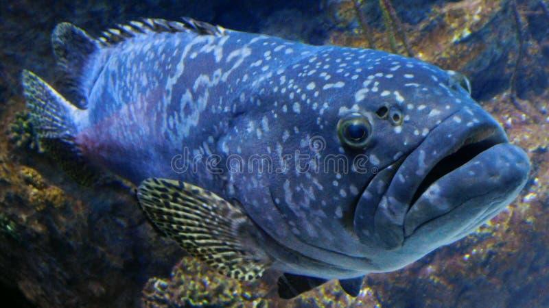 Ένα πορτρέτο ενός Grouper ψαριού στοκ εικόνες