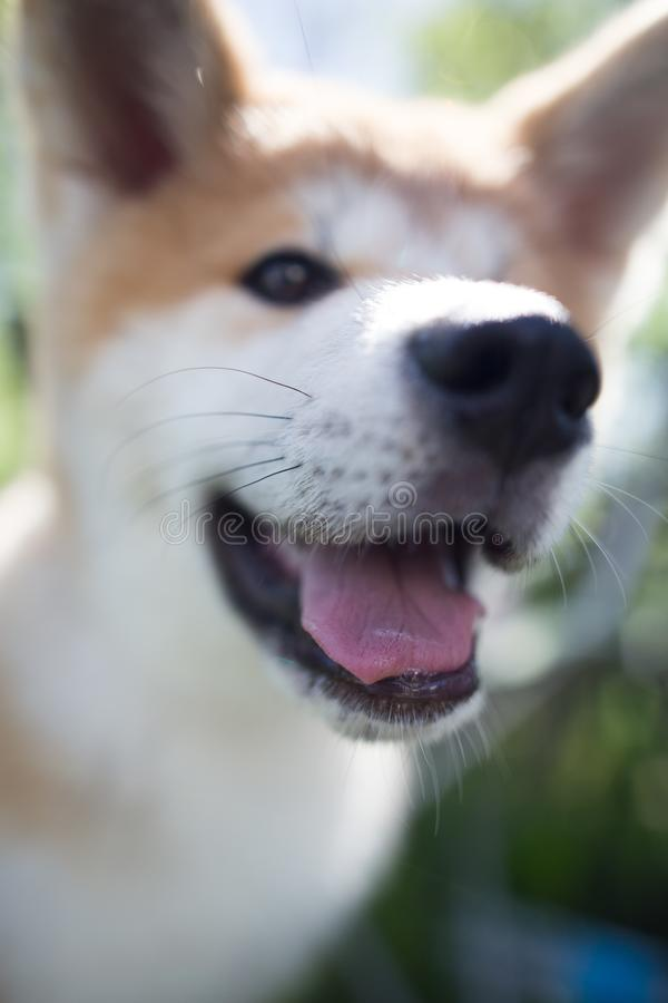 Ένα πορτρέτο ενός thoroughbred σκυλιού στη φύση στοκ φωτογραφία