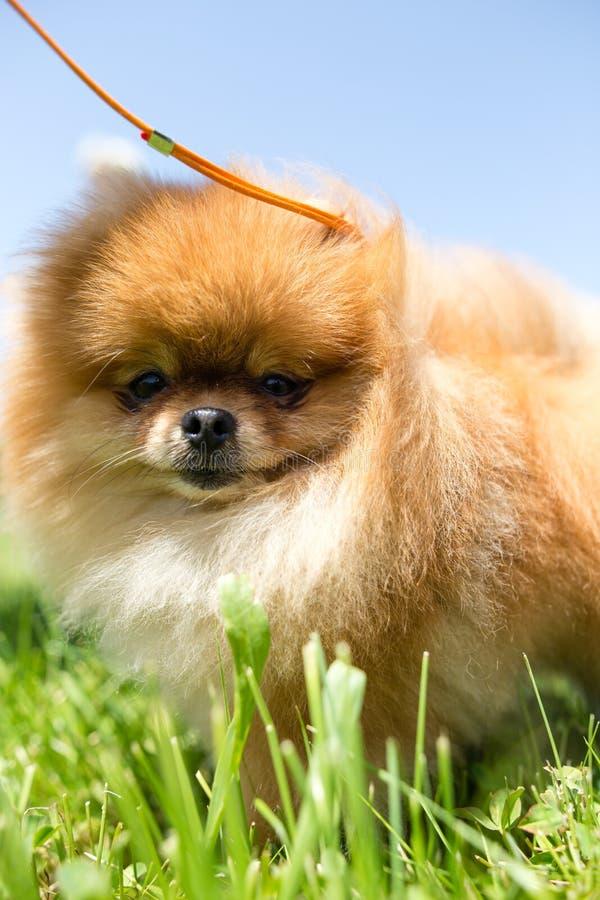 Ένα πορτρέτο ενός thoroughbred σκυλιού στοκ φωτογραφίες με δικαίωμα ελεύθερης χρήσης