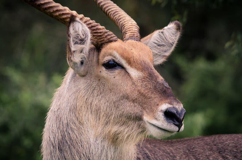 Ένα πορτρέτο κινηματογραφήσεων σε πρώτο πλάνο ενός αρσενικού ellipsiprymnus kobeus Waterbuck στο εθνικό πάρκο Kruger, Νότια Αφρικ στοκ εικόνες