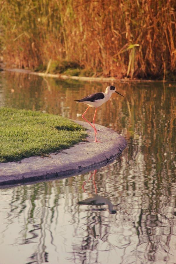 Ένα πουλί στην ακτή της λίμνης στην οποία η χλόη απεικονίζεται στο νερό στοκ εικόνα με δικαίωμα ελεύθερης χρήσης