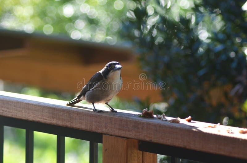 Ένα πουλί χασάπηδων που στέκεται σε μια ξύλινη ράγα, σίτιση στοκ εικόνες
