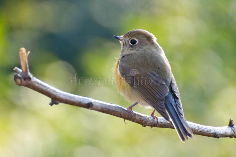 Ένα πουλί bluetail στοκ φωτογραφίες