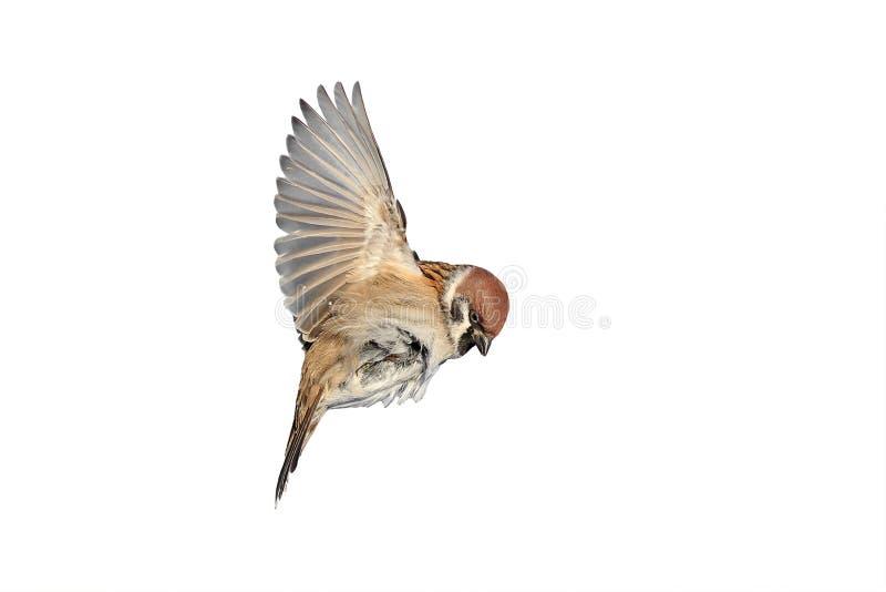 Ένα πουλί ένα σπουργίτι πετά για να διαδώσει τα φτερά του στοκ εικόνες