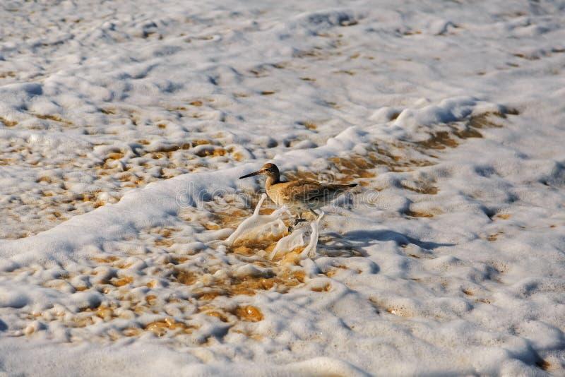 Ένα πουλί willet, τύπος μπεκατσινιού που τρέχει από το ωκεάνιο κύμα στοκ εικόνα