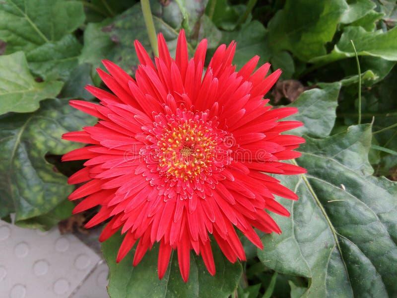 Ένα πολύ όμορφο κόκκινο ή ρόδινο λουλούδι τύπων στοκ εικόνα με δικαίωμα ελεύθερης χρήσης