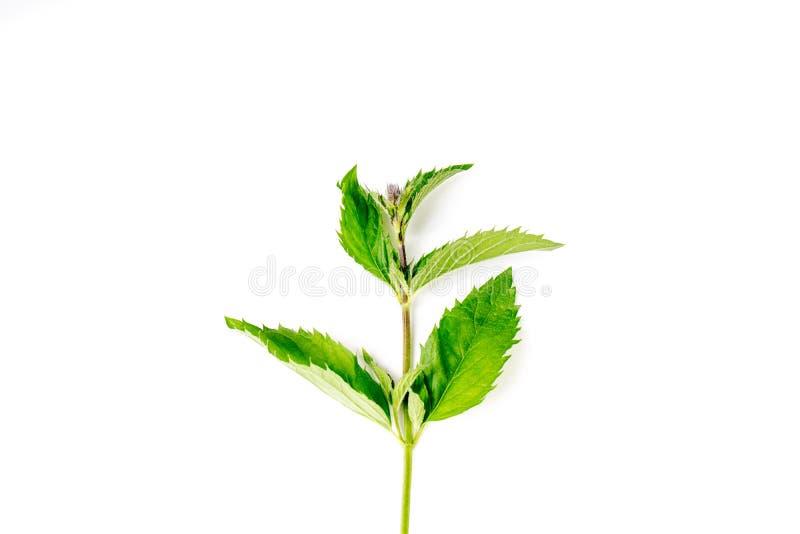 Ένα πράσινο, φρέσκο, φύλλα από οργανικό νομισματοκοπείο στοκ εικόνες