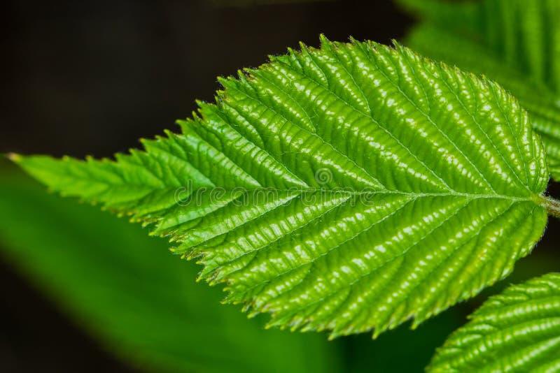 Ένα πράσινο φύλλο με το φυσικό υπόβαθρο στοκ φωτογραφία με δικαίωμα ελεύθερης χρήσης