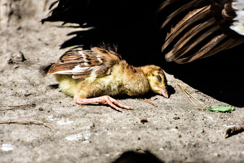 Ένα πραγματικά χαριτωμένο κοτόπουλο μωρών peacock δεν το έκανε στοκ εικόνες με δικαίωμα ελεύθερης χρήσης
