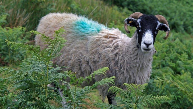Ένα πρόβατο Swaledale στοκ φωτογραφία με δικαίωμα ελεύθερης χρήσης