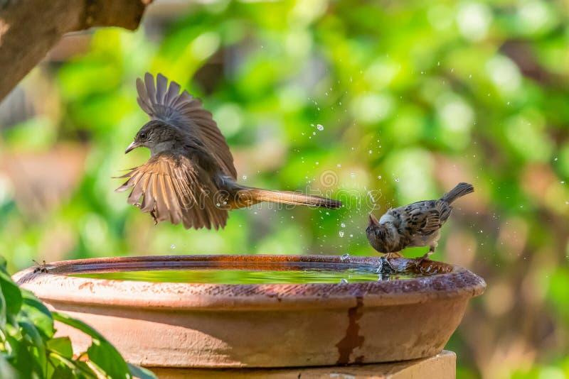 Ένα ράβδωση-έχον νώτα Bulbul που πετά από ένα κύπελλο του νερού ενώ ένα σπουργίτι που περιστρέφει το κεφάλι του στοκ φωτογραφίες με δικαίωμα ελεύθερης χρήσης