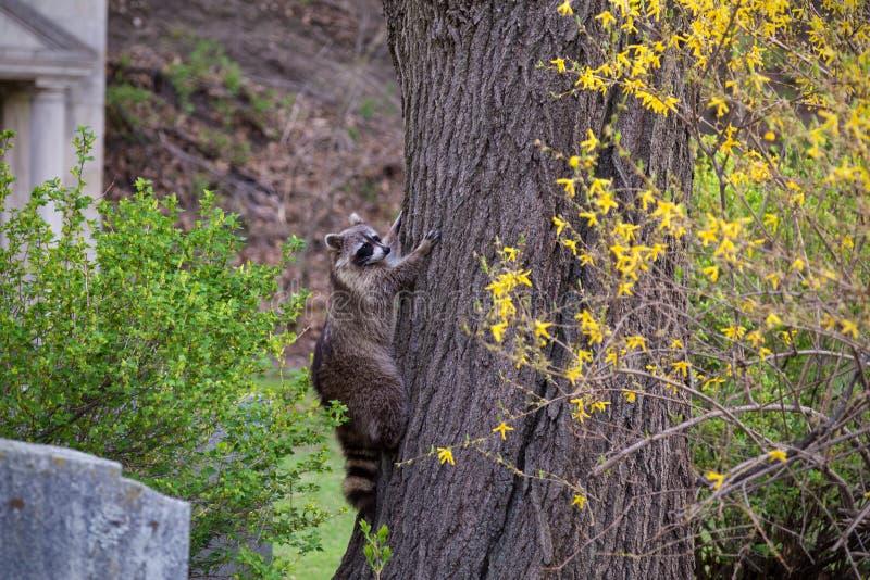 Ένα ρακούν που αναρριχείται σε ένα δέντρο σε ένα πάρκο του Τορόντου στοκ εικόνα