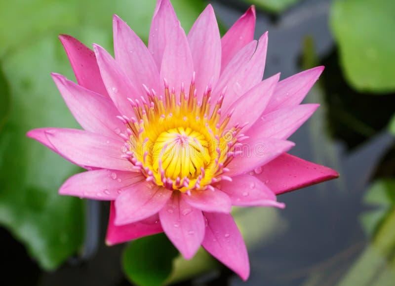 Ένα ροζ άνθισης που κρύβει waterlily μεταξύ των πράσινων φύλλων στοκ φωτογραφία με δικαίωμα ελεύθερης χρήσης