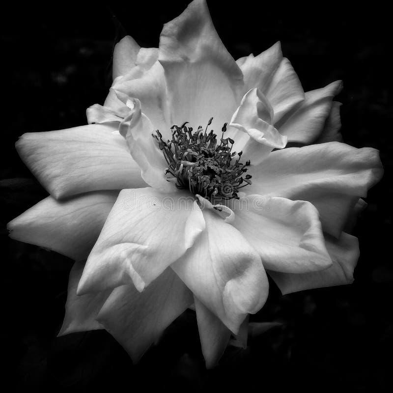 ένα ρομαντικό λουλούδι στοκ εικόνες