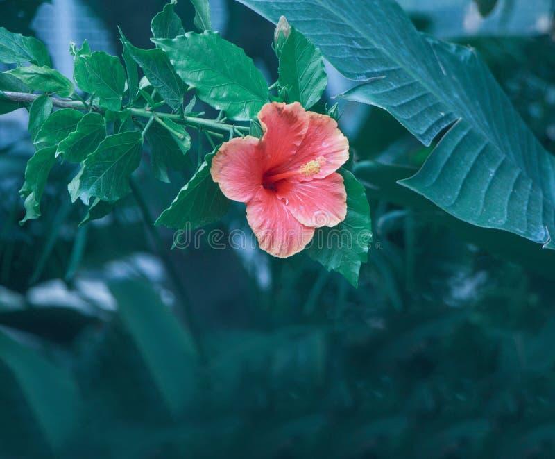 Ένα ρόδινο λουλούδι σε ένα υπόβαθρο στοκ εικόνα με δικαίωμα ελεύθερης χρήσης