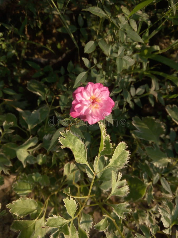 Ένα ρόδινο λουλούδι στοκ φωτογραφία με δικαίωμα ελεύθερης χρήσης