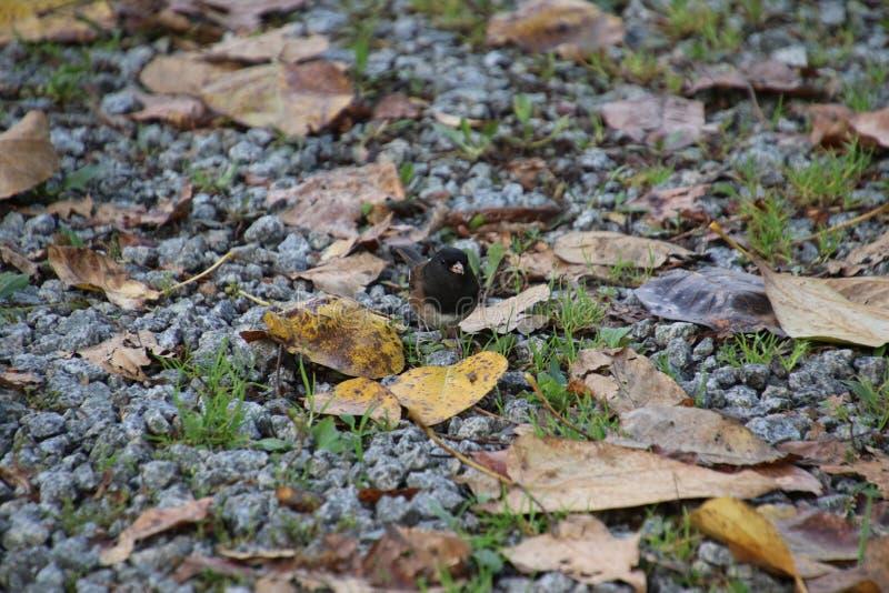 Ένα σκοτεινό eyed junco στοκ φωτογραφίες