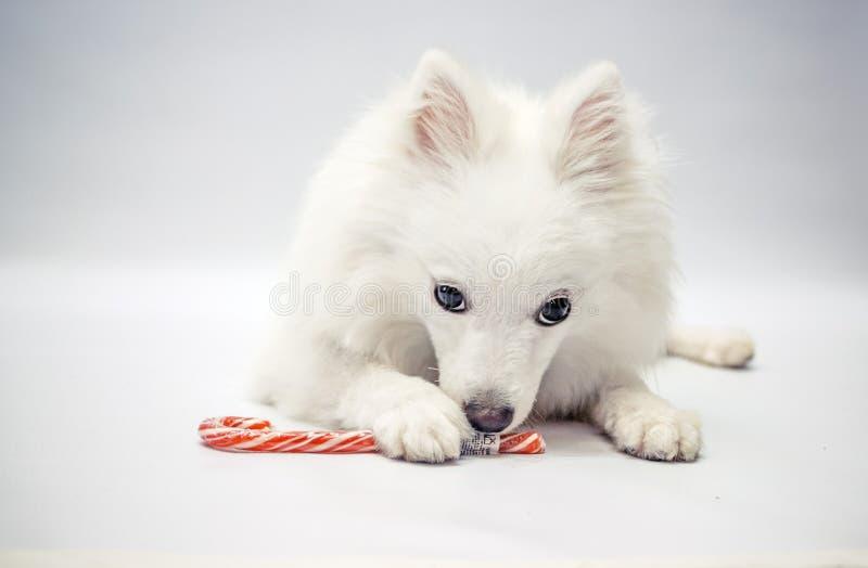 Ένα σκυλί με μια καραμέλα Χριστουγέννων στοκ φωτογραφία με δικαίωμα ελεύθερης χρήσης
