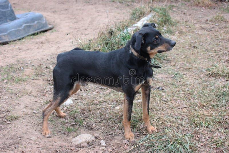 Ένα σκυλί με τη μαύρη τρίχα και τα καφετιά μάτια ανατρέχει, μένοντας στο έδαφος Ευτυχές κουτάβι στοκ φωτογραφία με δικαίωμα ελεύθερης χρήσης